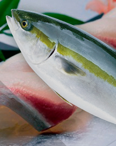 Olive Yellowtail