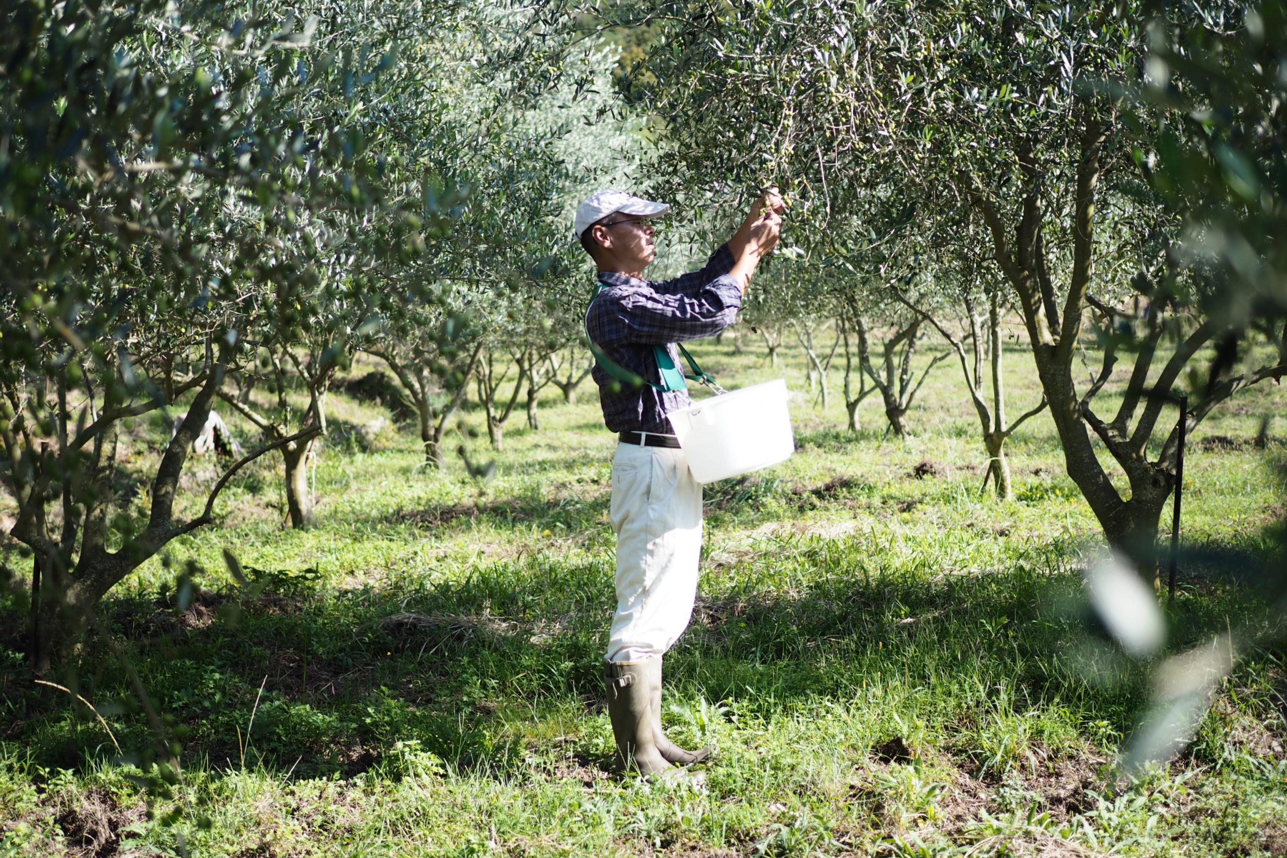 オリーブの実を収穫する男性