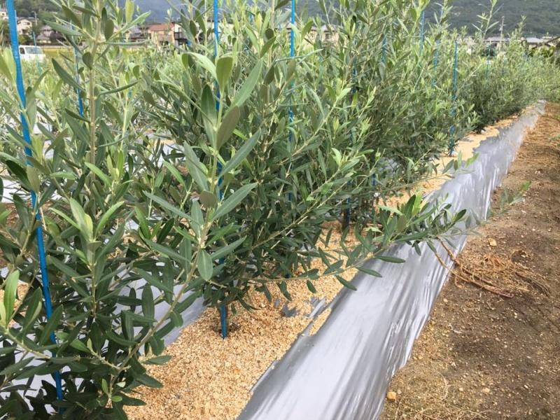 对齐的橄榄树苗