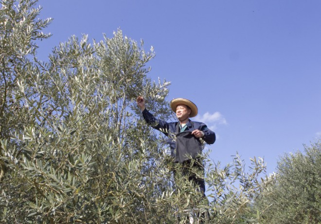 A person who cares for an olive tree