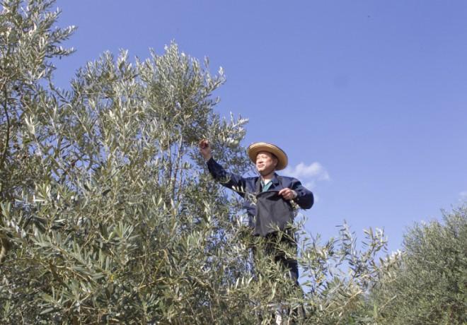 올리브 나무를 손질하는 사람
