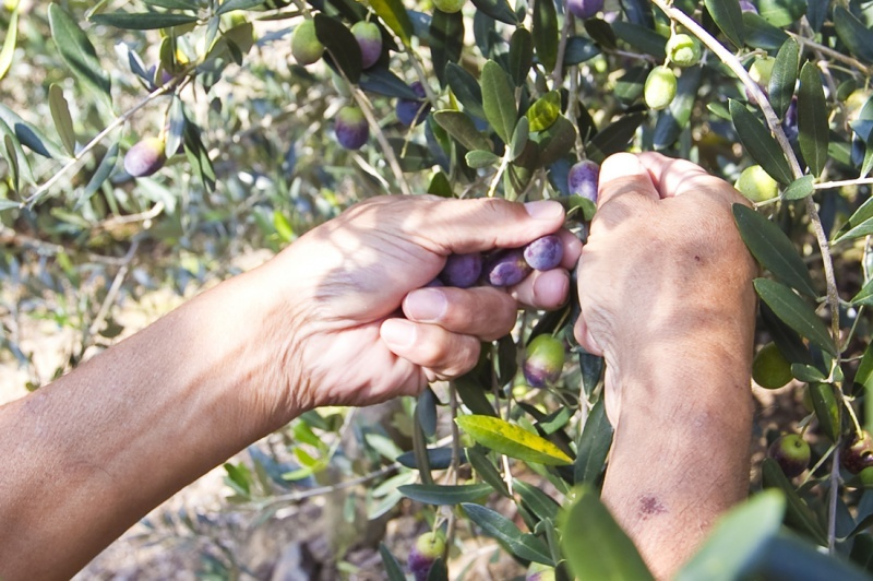 Hands to harvest olive fruits
