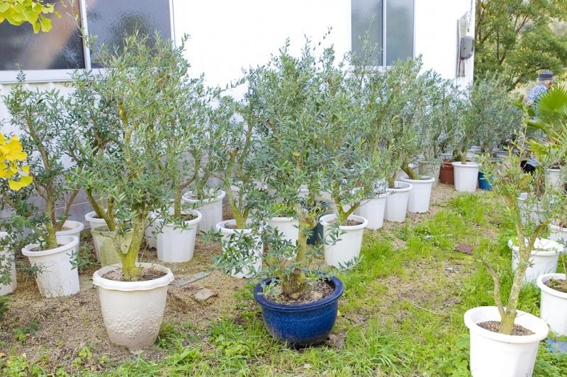 鉢植えに植えられた木々