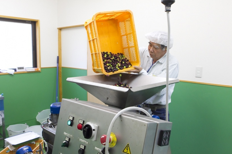 Photograph of olives being poured into a machine