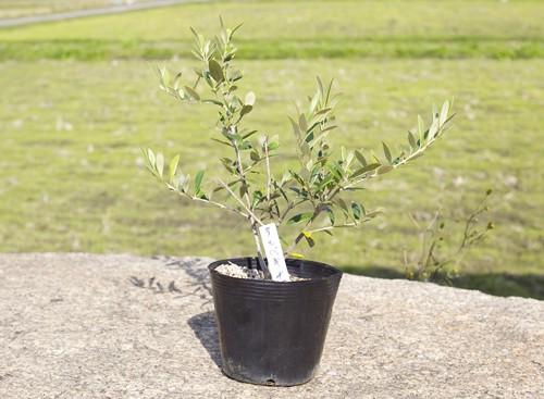 Product image of sapling