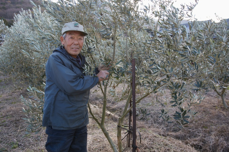 橄欖樹和人