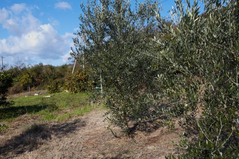 オリーブの木々