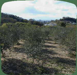 Mitoyo Olive