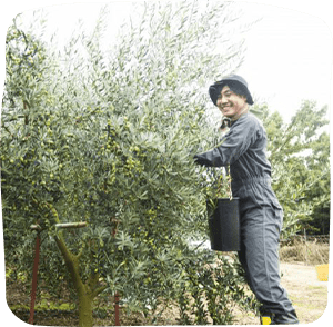 小豆岛橄榄