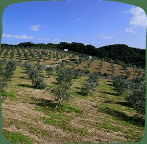 Oki olives