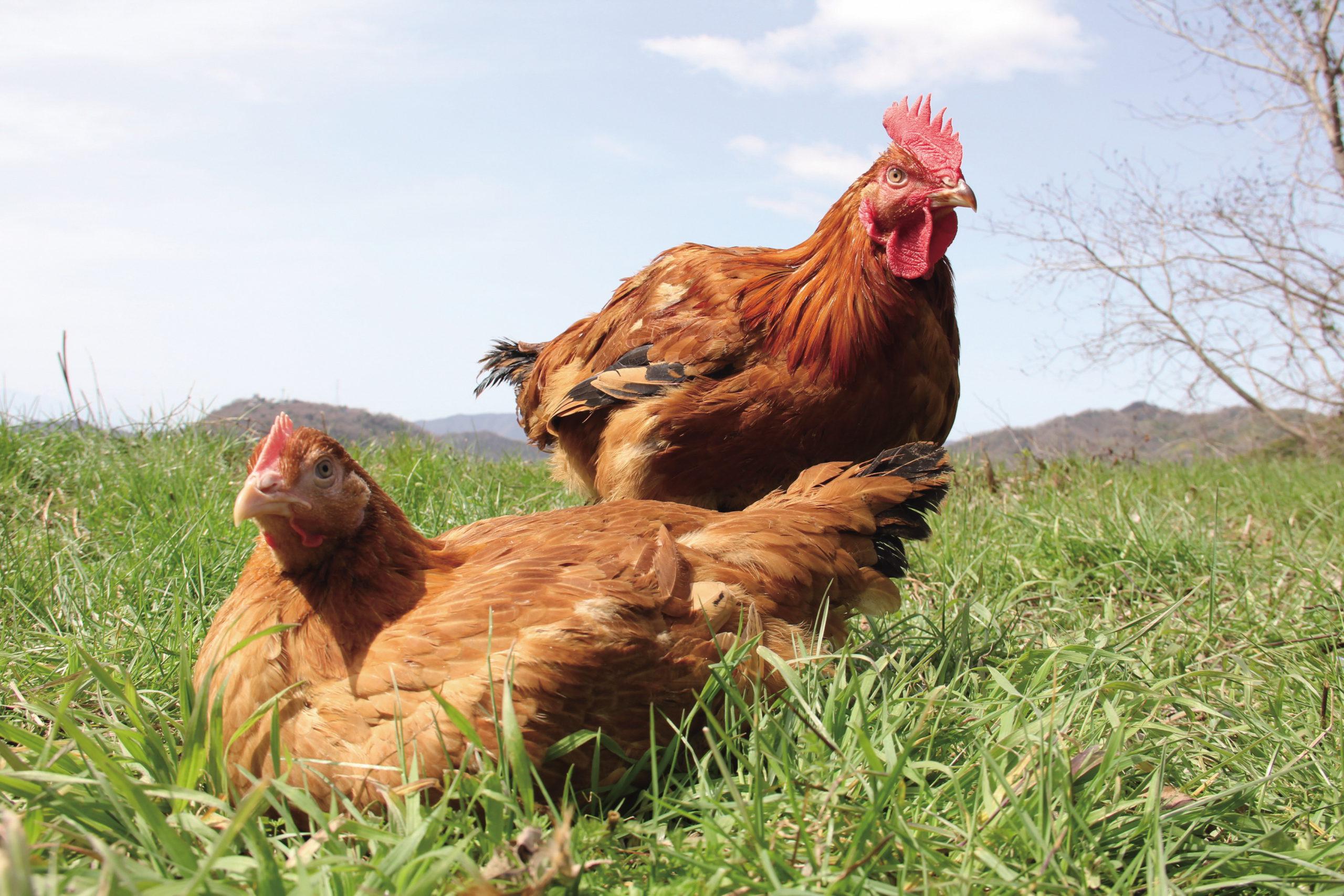 올리브 토종 닭의 사진