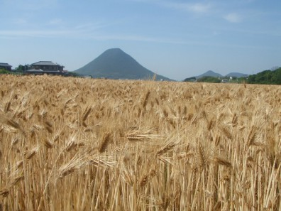 Photo of Hadaka wheat