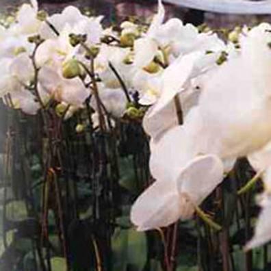 蘭花的照片