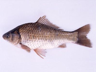 ภาพถ่ายปลาคาร์พ crucian