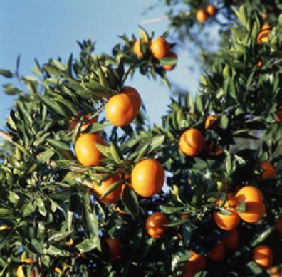 Photograph of mandarin orange