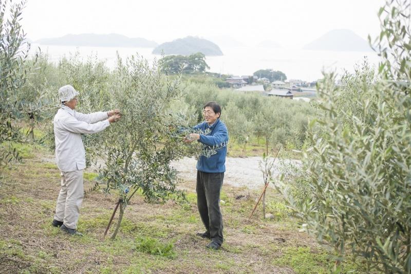 ภาพถ่ายของชายสองคนที่ทำงานกับต้นมะกอก