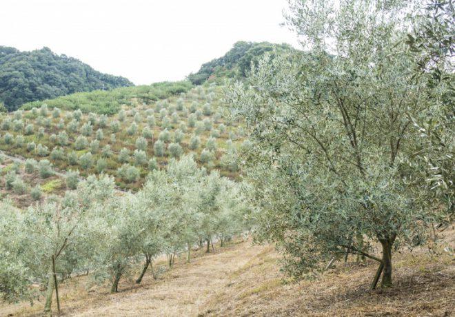 올리브 나무