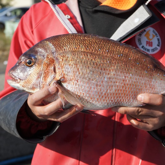 Olive red sea bream Kagawa prefecture product